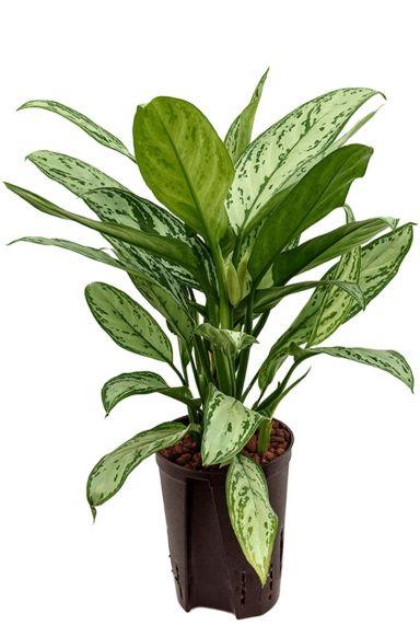 Aglaonema silver king kamerplant