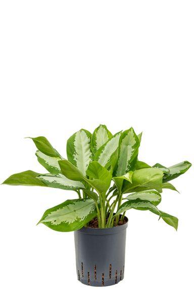 Aglaonema silver moon plant hydro