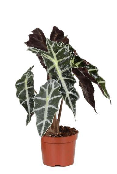 Alocasia-polly-skeletplant