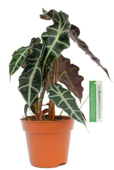 Alocasia polly - Pfeilblatt