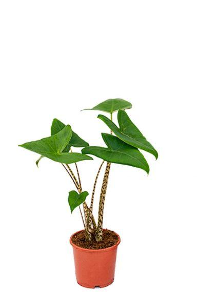 Alocasia zebrina zimmerpflanze