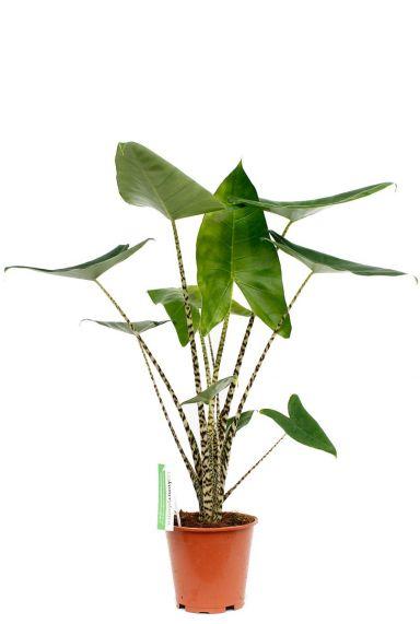 Alocasia Zebrina Zimmerpflanze kaufen online
