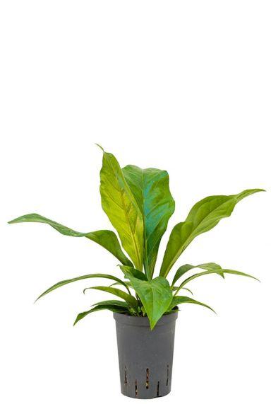 Anthurium jungle bush hydrokulturpflanze