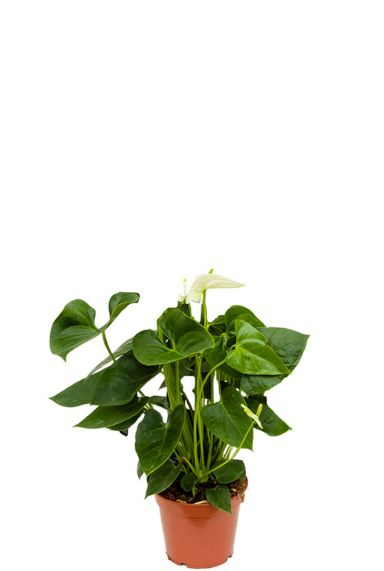 Anthurium sierra white zimmerpflanze