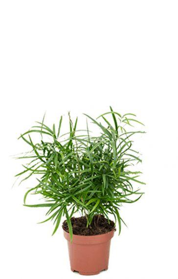 Asparagus falcatus plant