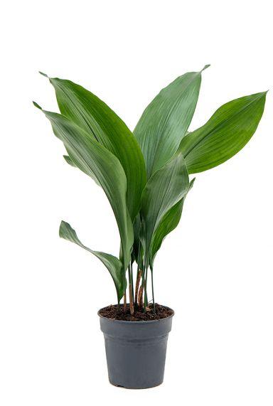 Aspidistra-elatoir-kamerplant