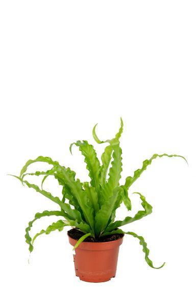 Asplenium-antiquum-osaka-kamerplant