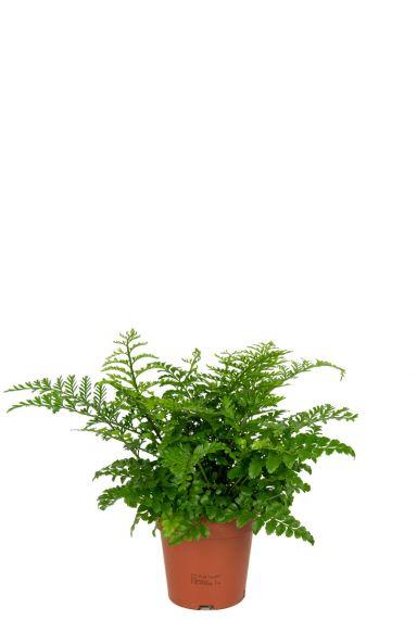 Asplenium-varen-kamerplant