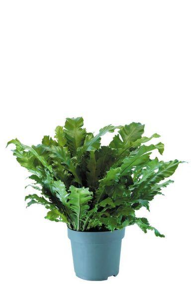 Asplenium nidus zimmerpflanzen