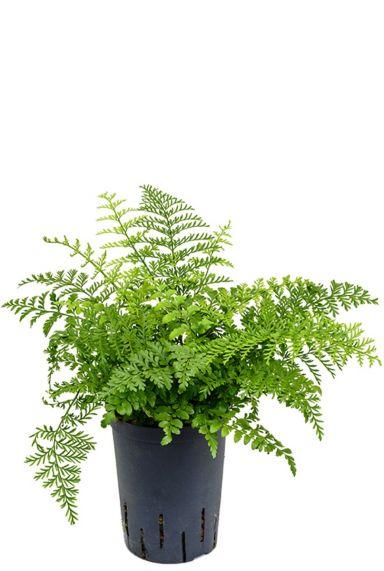 Asplenium parvati hydrokulturpflanze