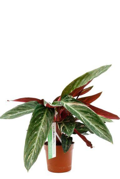 Pfeilwurze rot grün zimmerpflanze