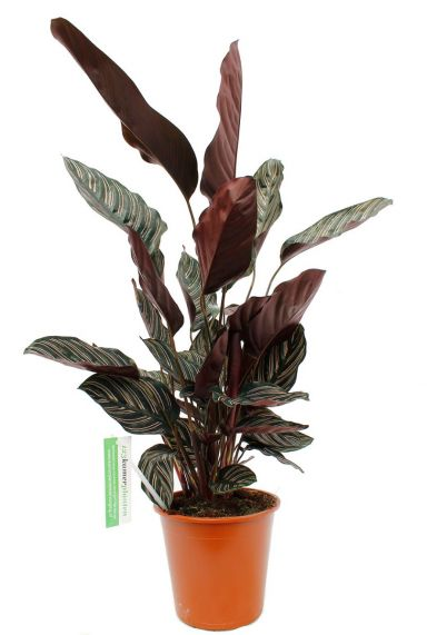 Calathea Ornata - Pfeilwurze