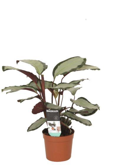 Calathea-picturata-pauwenplant-p12