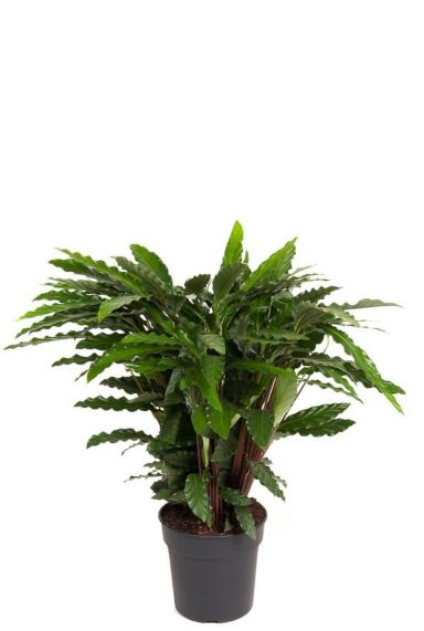 Calathea elgergrass Pfeilwurze