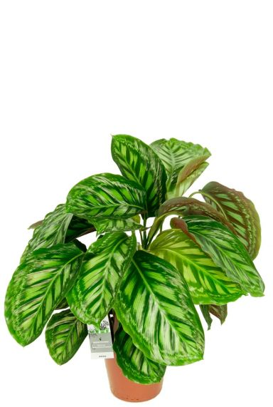 Calathea flamestar zimmerpflanze 1