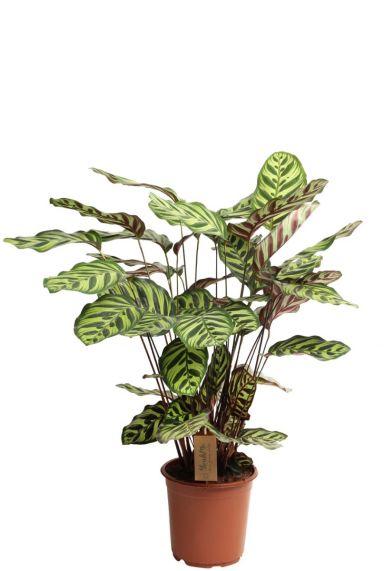 Calathea makoyana - Pfeilwurze
