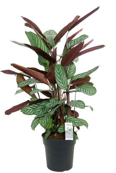 Calathea oppenheimiana zimmerpflanze