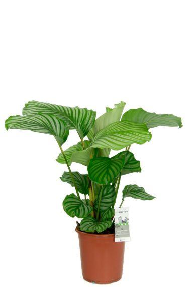 Calathea orbifolia zimmerpflanze 4