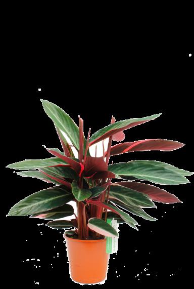 Sanguinea Triostar  Pfeilwurze