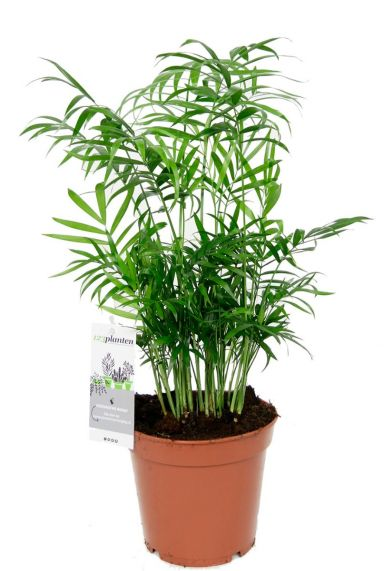 Chamaedorea zimmerpflanze