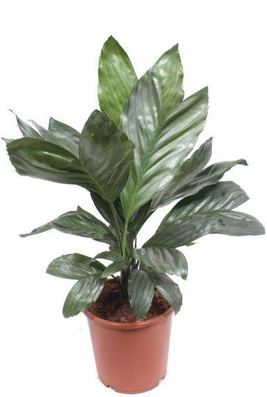 Chamaedorea metallica zimmerpflanze