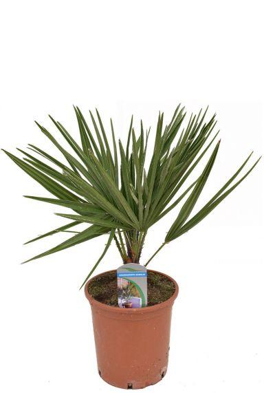 Chamaerops humilis Pflanze