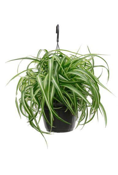 Chlorophytum Bonnie  Grünlilie