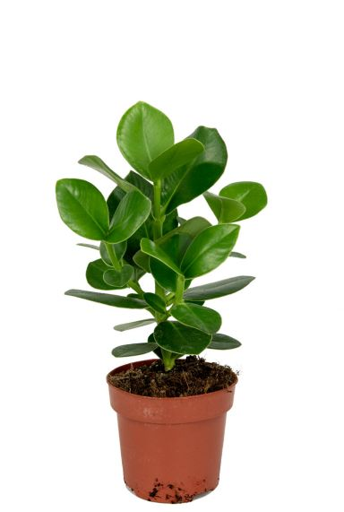 Clusia-rosea-kamerplant