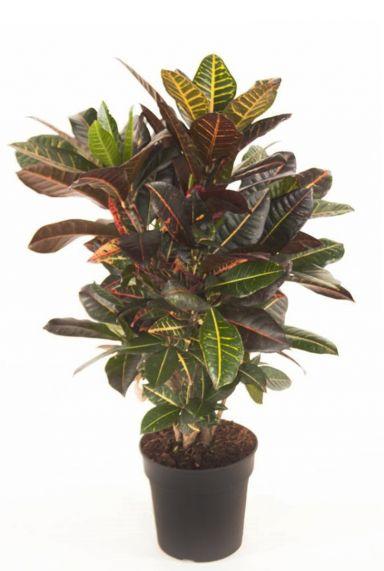 Codiaeum variegatum croton