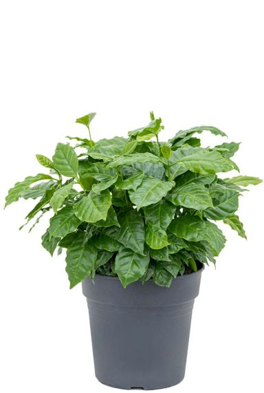 Coffea arabica zimmerpflanze