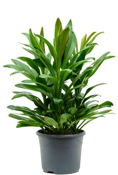 Cordyline glauca - Keulen Lilie pflanze
