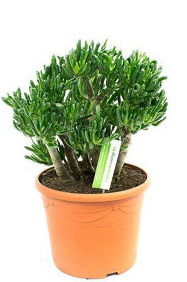 Crassula-horntree-zimmerpflanze