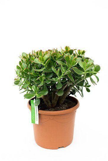 Crassula sunset zimmerpflanze