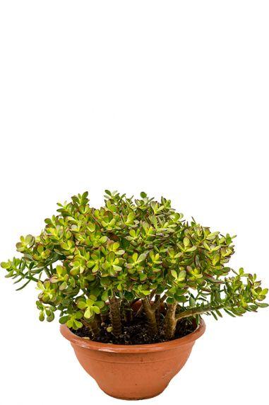Crassula ovata minor zimmerpflanze