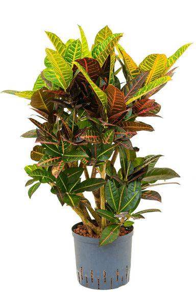 Croton codiaeum petra hydrocultuur plant