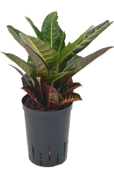 Kroton Petra hydrokulturpflanze