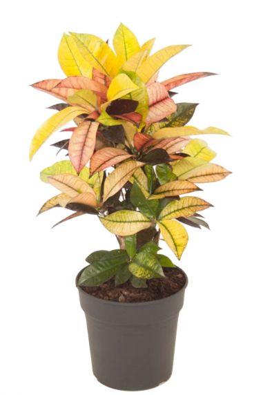 Croton zimmerpflanze
