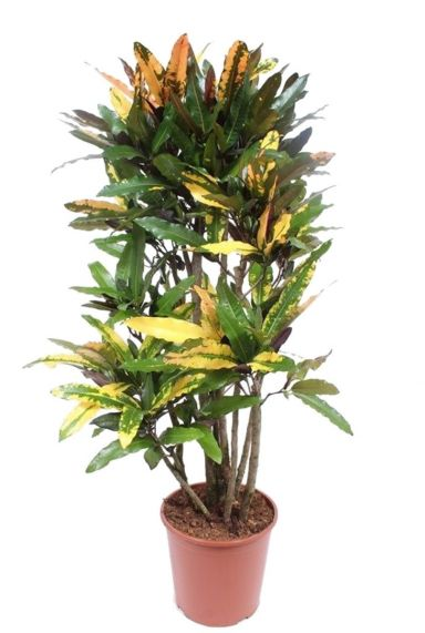 Croton kamerplant codiaeum mango