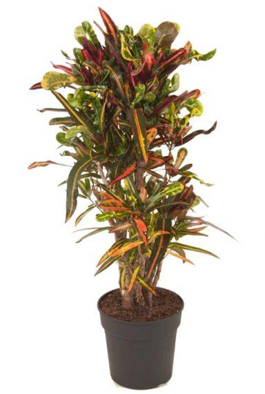Kroton Mammi - Wunderstrauch zimmerpflanze