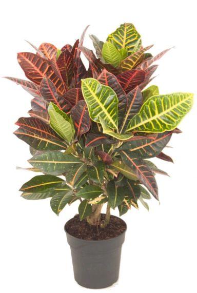 Kroton farbige zimmerpflanze