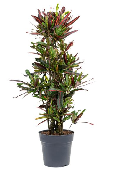 Croton mamey kamerplant