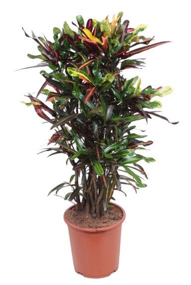 Croton mammi