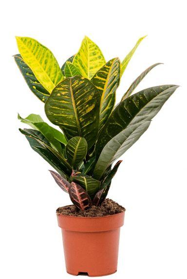 Croton petra plantje