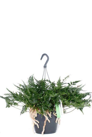 Humata Teyermanii farn hängepflanze