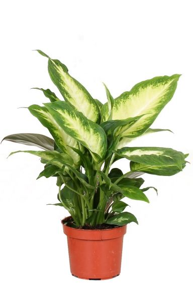 Diefenbachia-camile-kamerplant