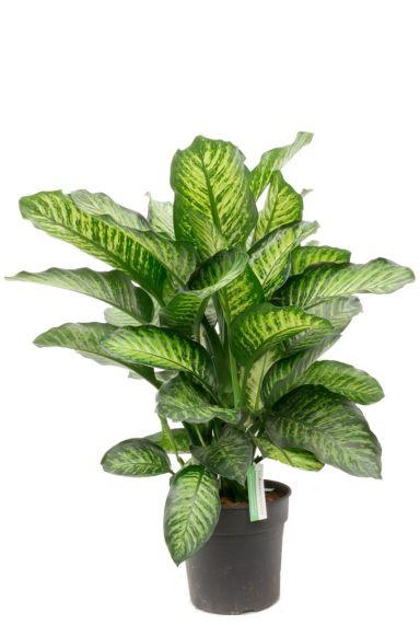 Dieffenbachia maroba zimmerpflanze