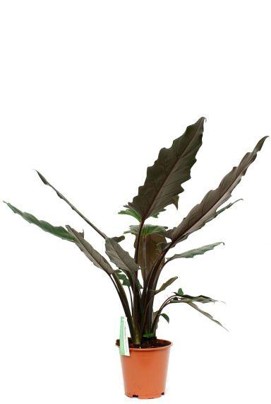 Alocasia Lauterbacchiana - Elefantenohr