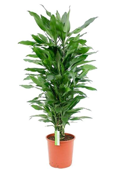 Dracaena Janet Lind  zimmerpflanze