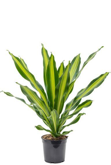 Dracaena burley Drachenbaum  pflanze