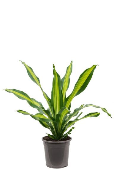 Dracaena burley zimmerpflanze